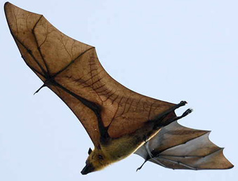 White-Winged Flying Fox